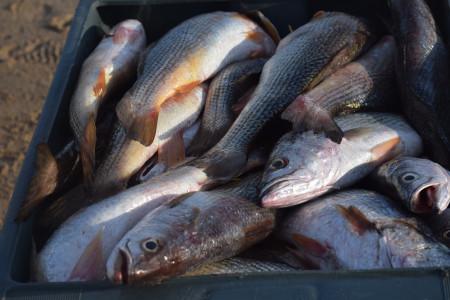 Pescadilla de calada: uno de los principales recursos pesqueros de Uruguay