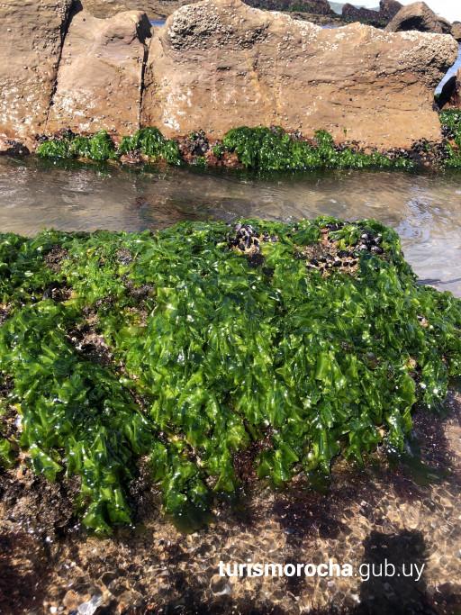 Algas de Rocha