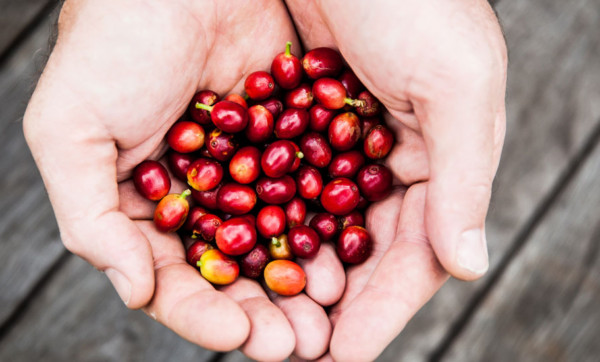 Merge your love of java and ale with Brisbane's first coffee cherry beer