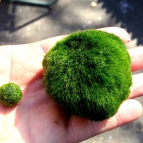 Giant live japanese marimo moss ball