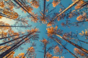 Photo of tall trees from the ground looking up at goldent leaves and a bright blue sky.
