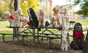 about a dozen therapy dogs on a picnic table with UCHealth Memorial Hospital in the background.