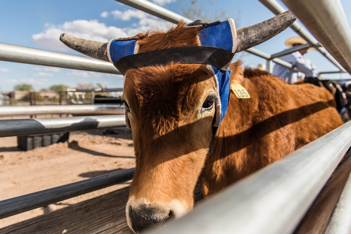 Steer-ready-for-roping-ready-for-slideshow
