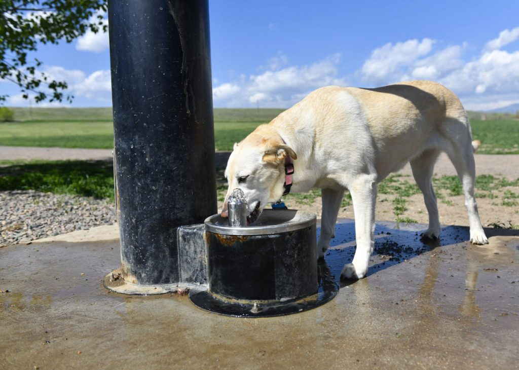 a dog drinks out of a special dog drinking fountain and at off-leash dog park in Westminster
