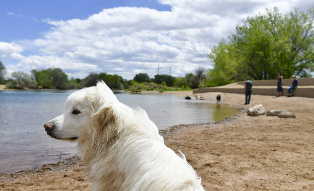 a Great Pyrenees mix dog relaxes on the beach at Chatfield State Park.