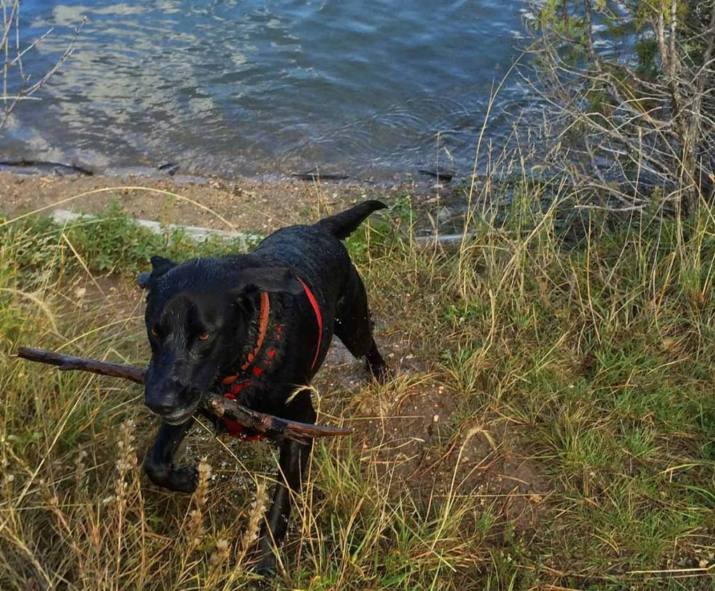 A black lab with a big stick in his mouth comes out from some water.