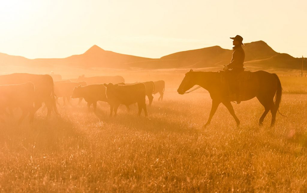 Rancher Nathan Kissack riding a horse as cows kick up dust at sunset.