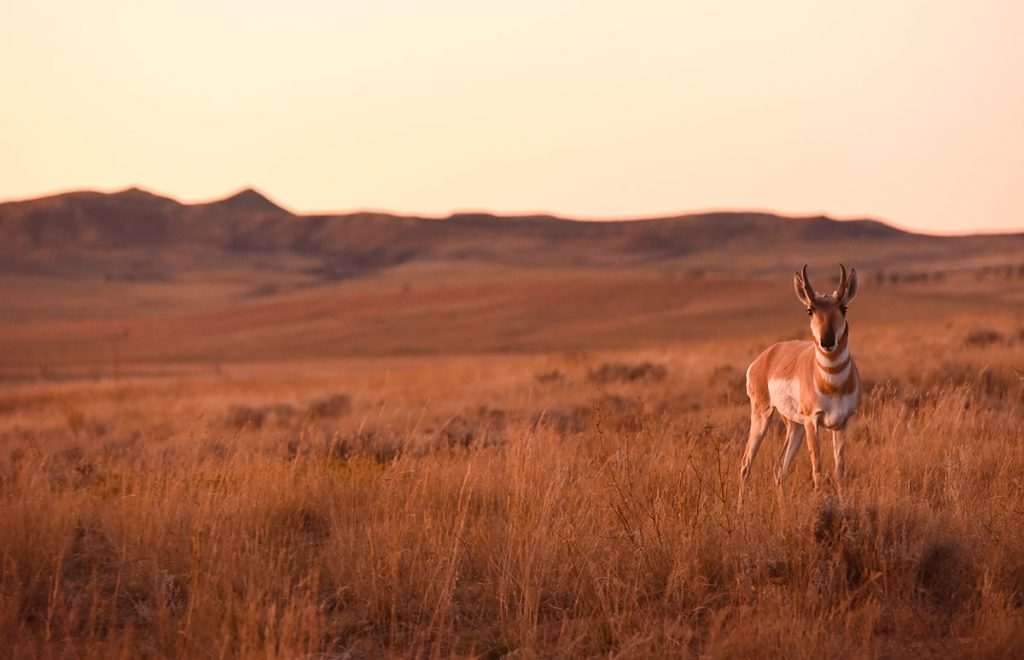 An antelope in Wyoming