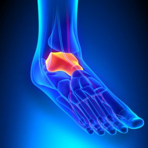 image of a foot, showing the talus boan inside where the foot bones meet the ankle.