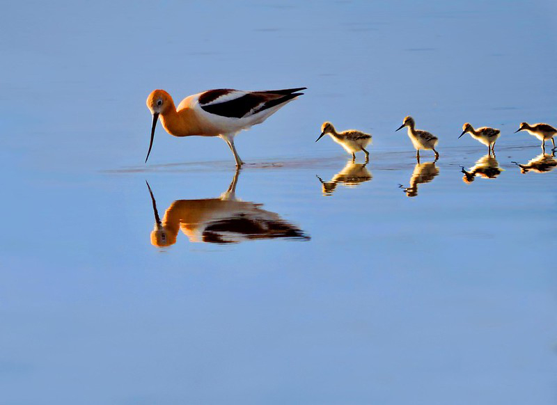 An avocet bird with chicks reflected in shallow water.