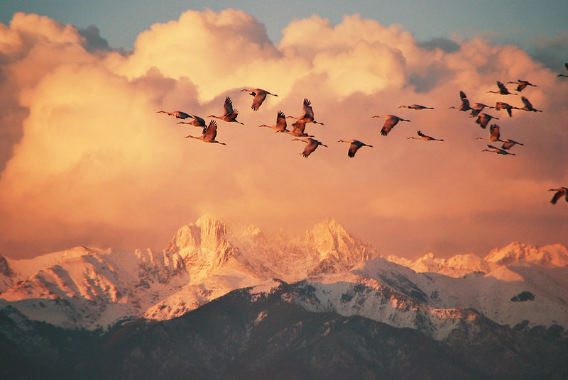 Sandhill cranes fly over Crestone Peaks near Great Sand Dunes National Park