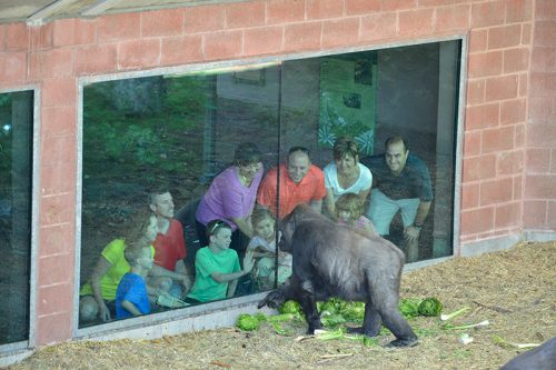 a gorilla at the Denver Zoo interacts with people beyond the glass