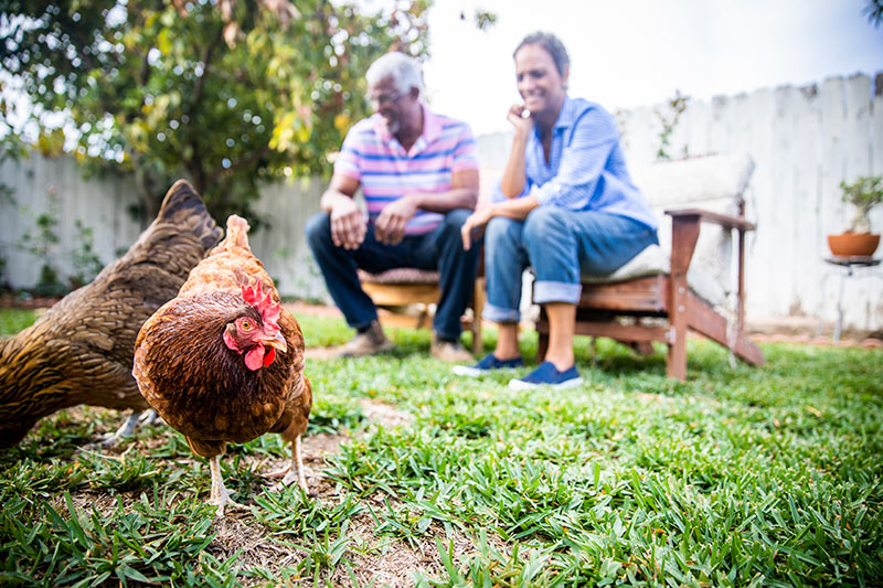 couple watches chickens in their backyard. COVID-19 doesn't seem to be transfered by animals so pet owners shouldn't be concerned.