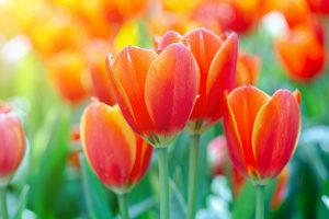 Viewing tulips online as a beautiful distraction during the pandemic