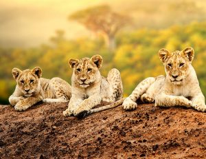 lion cubs - virtual safari provides a beautiful distraction during the COVID-19 pandemic
