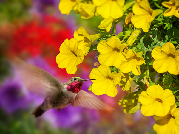 birding in Colorado - A broad-tailed hummingbird feeds from a flower