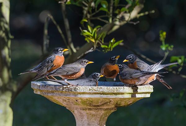 birding for beginners. Robins gather in a bird bath.