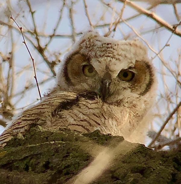 Birding for beginners - a great horned owlet.
