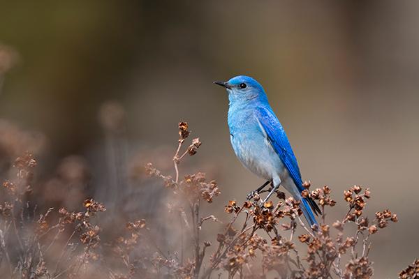 Birding for beginners - a mountain bluebird perches on a branch.