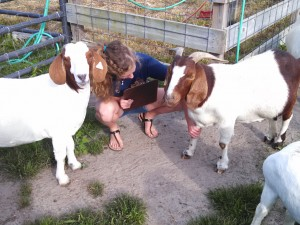 Ockels, with procedures in hand, checks on the goats at Sussex Central's teaching farm