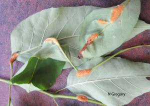 Symptoms of ash rust on the lower surface of leaves. Note orange sporulation of the fungus.