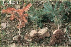 Phytophthora root rot Olson