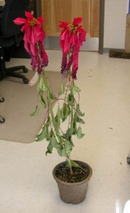 Poinsettia with Root Rot