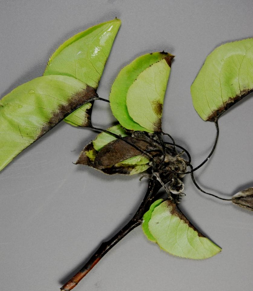 Asian Pear Tree Disease