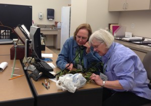 Master GardenersSandi Dew and Gainor Urian, examine a holly for cottony camellia scale