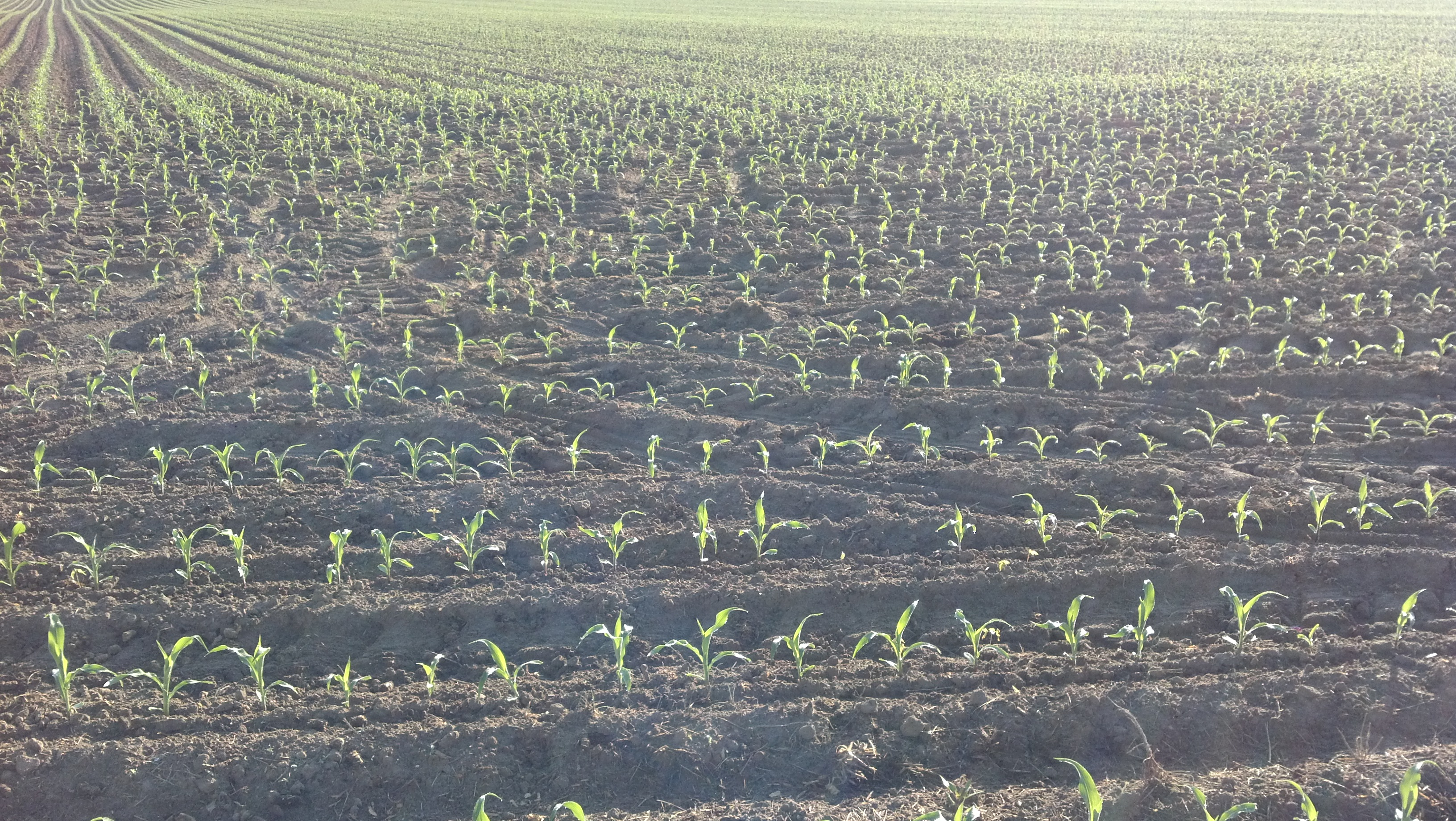 Young corn sprouts in rows