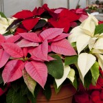 Poinsettias come in many colors