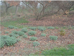 Leaf clippings are used as mulch temporarily as these perennials come up and fill in this landscape bed.