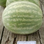 Super Seedless-7187, a popular seedless watermelon grown in Delaware