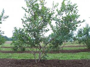 Lenoir blueberry bush