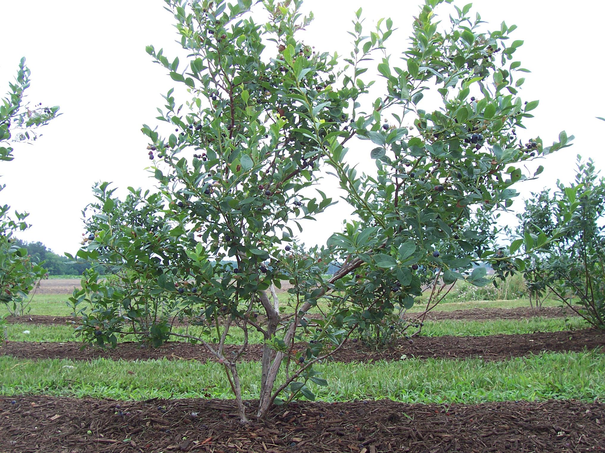 How to plant blueberry bush - Lenoir Blueberry Bush One Of 25 Blueberry Bushes Grown