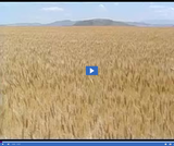Geography of Utah. Climate, Soil, and Vegetation of Utah. Wheat fields at Promontory.