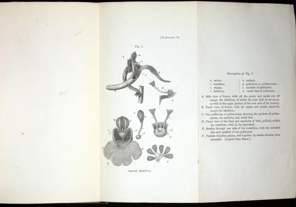 Image of Darwin-F800-1862-00018-b