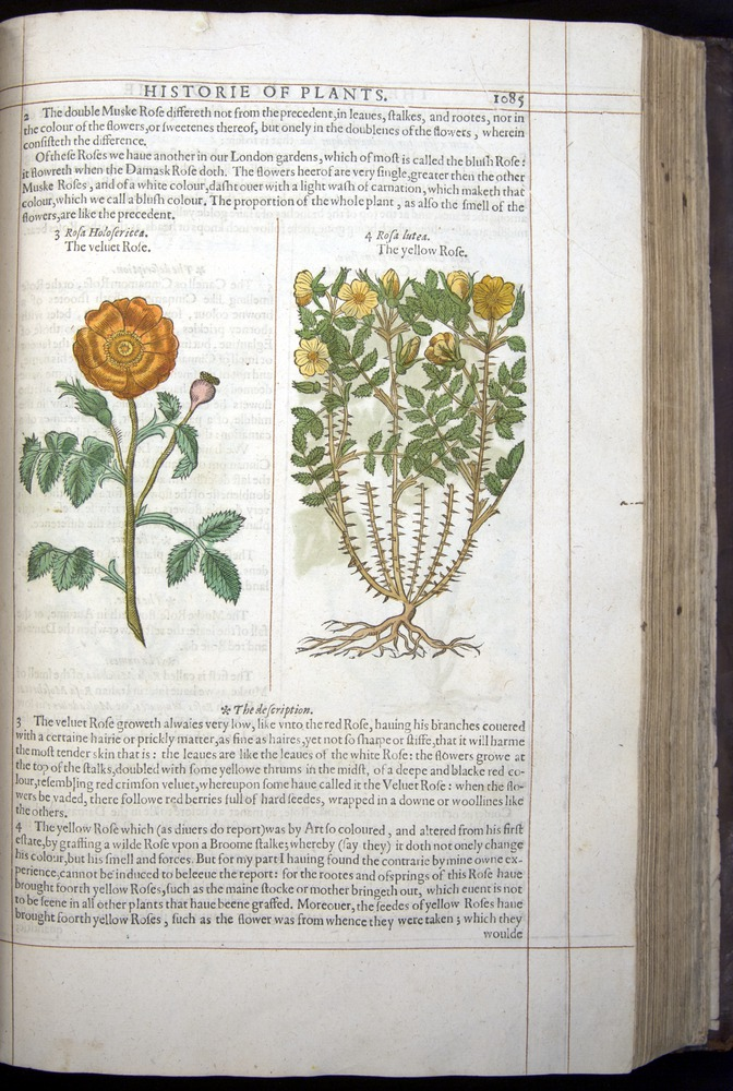 Image of Gerard-1597-1085