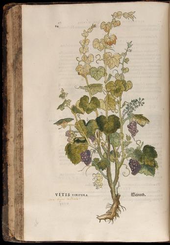 Image of Fuchs-1542-084