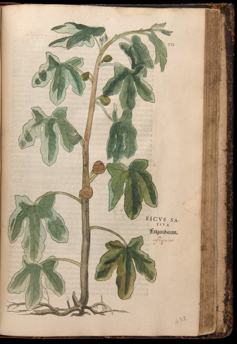Image of Fuchs-1542-755