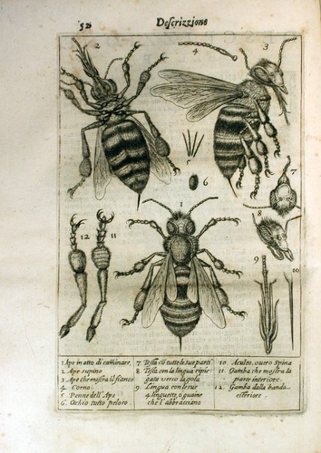 Image of Stelluti-1630-plate