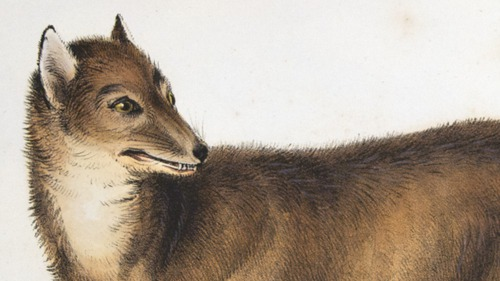 Darwin, Zoology of the Beagle, Fox: Canus antarcticus