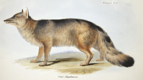 Charles Darwin, Zoology of H.M.S. Beagle (1838-1843), fox