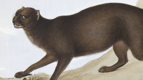 Darwin, Zoology of the Beagle, panther: Felis Yagouarondi