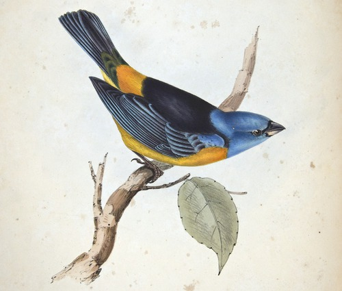 Darwin, Zoology of the Beagle, bird:  Tanagra Darwinii