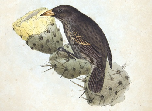 Darwin, Zoology of the Beagle, finch: Cactornis ofsimilis