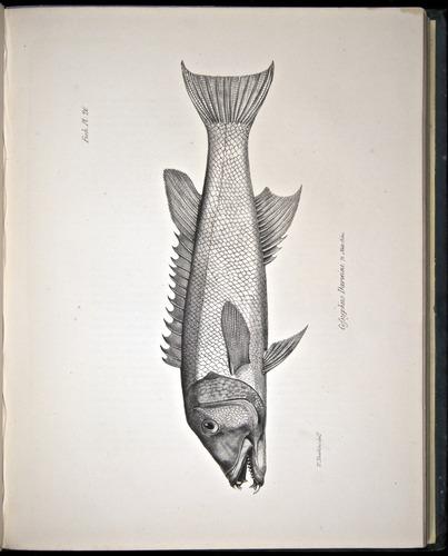Image of Darwin-F8.3-1838-00100-cf20