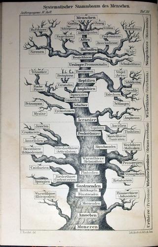 Image of Haeckel-1891-1-015-pl