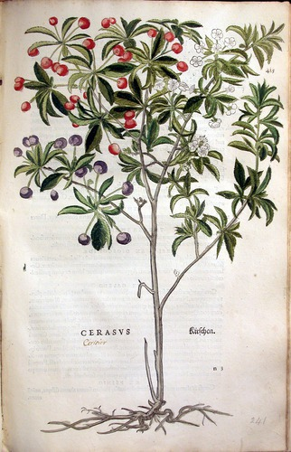 Image of Fuchs-1542-425-cherry