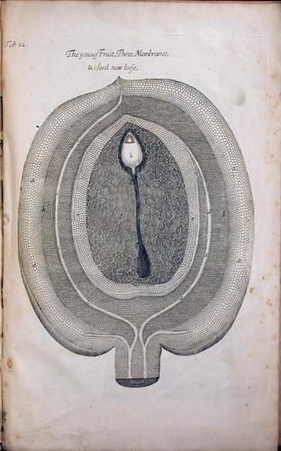 Image of Grew-1682-pl82